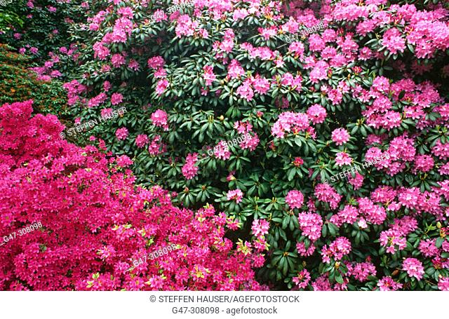 Azalea (Rhododendron Beethoven)
