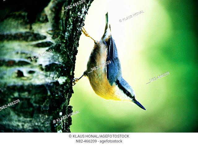 Nuthatch (Sitta europaea) on side of tree