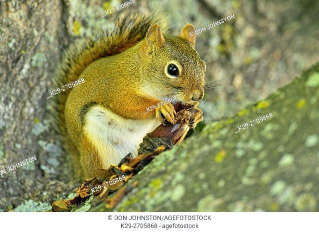 Red squirrel (Tamiasciurus hudsonicus) Eating a pine cone, Seney NWR, Seney, Michigan, USA