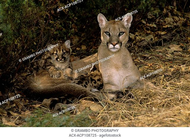 Cougar mother & 5-week-old kittens, Puma concolor, Montana, USA