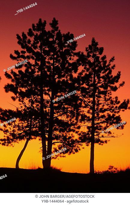 Sunrise sky silhouettes pines near Sunrise Point, Bryce Canyon National Park, Utah, USA