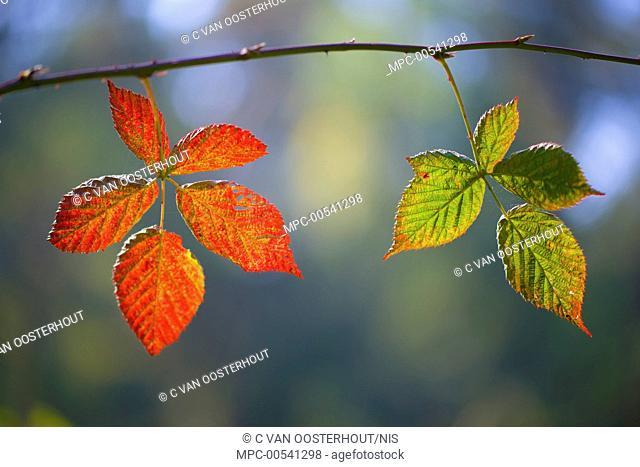 Shrubby Blackberry (Rubus fruticosus) leaves in autumn, Netherlands