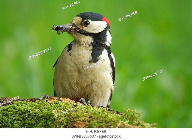 Great spotted woodpecker (Picoides major, Dendrocopos major), male sitting on mossy deadwood with caught insects in the beak, Germany