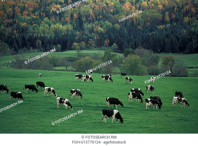 cows, cattle, Vermont, A herd of dairy cows (Holstein) graze on a lush green pasture with colorful fall foliage in the background in Plainfield in Washington...