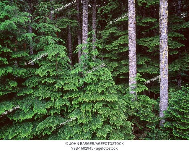 New spring growth of western hemlock saplings and long straight trunks of mature noble fir, Willamette National Forest, Oregon, USA