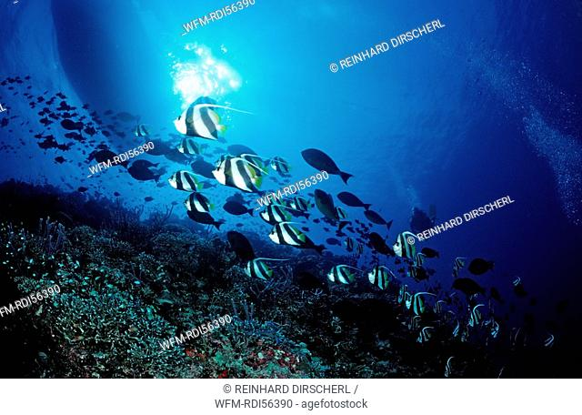 Coral Reef and Pennant Bannerfishes, Heniochus diphreutes, Indian Ocean, Felidu Atoll, Maldives