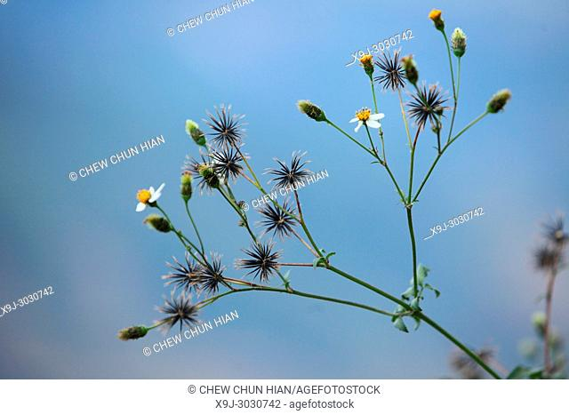 wild flower in nature, asia