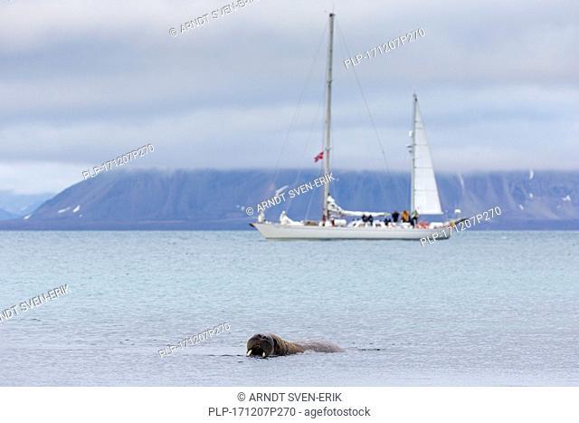 Tourists watching male walrus (Odobenus rosmarus) swimming in sea from sailing ship at Phippsøya in Sjuøyane, Nordaustlandet, Svalbard, Norway