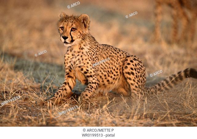 Cheetah, cub, Namibia,Acinonyx, jubatus