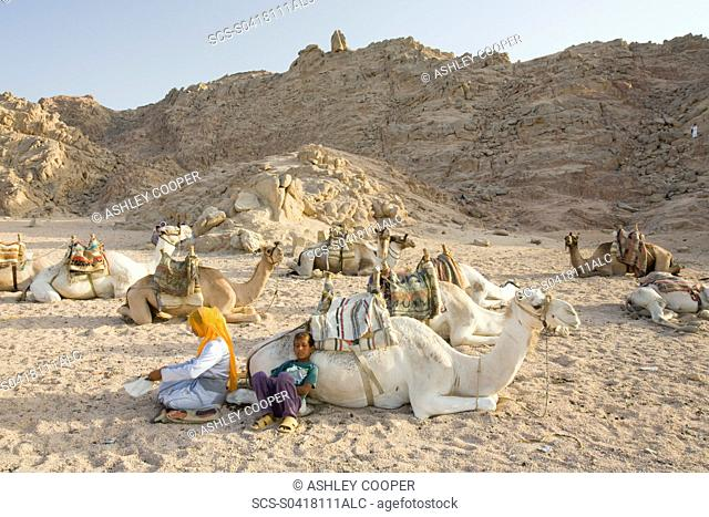 Bedouin camels in the Sinai Desert near Dahab in Egypt