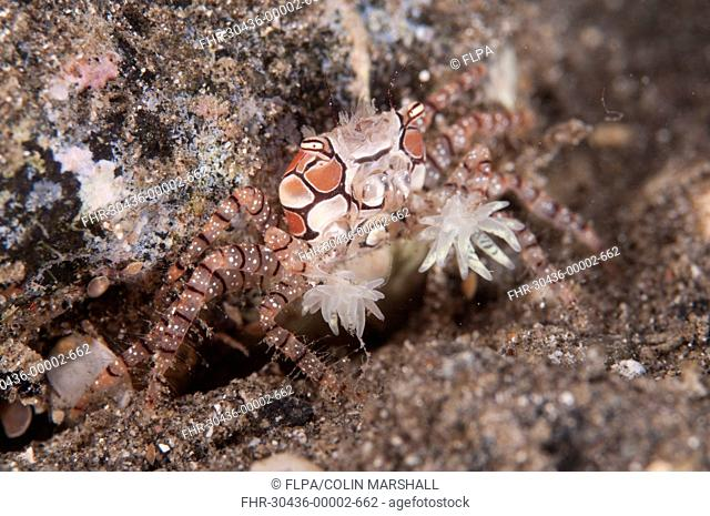 Pom-pom Crab Lybia tesselata adult, with anemones on claws for protection, Reta Island, Alor Archipelago, Lesser Sunda Islands, Indonesia