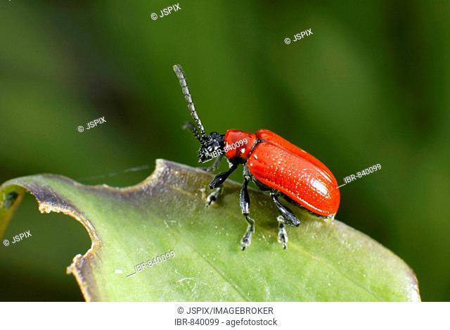 Scarlet Lily Beetle (Lilioceris lilii)