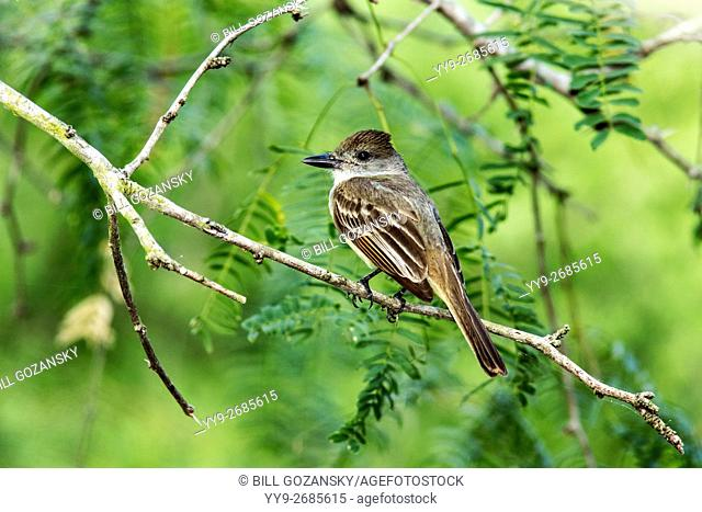 Brown-crested Flycatcher. (Myiarchus tyrannulus) - Camp Lula Sams, Brownsville, Texas, USA