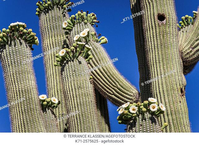Cactus blossoms on the trunks of the Saguaro cactus in Saguaro National Park near Tucson, Arizona, USA