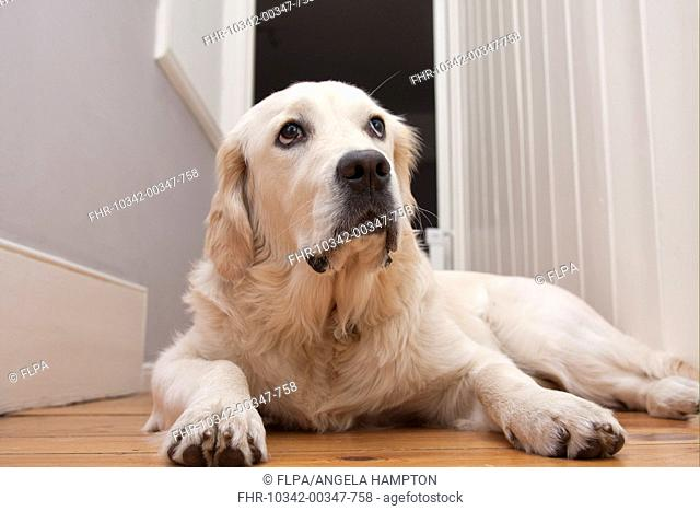 Domestic Dog, Golden Retriever, puppy, laying on floor, England