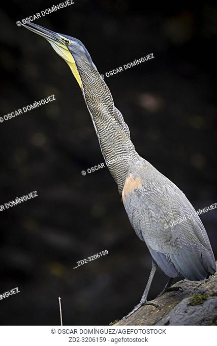 Bare-throated Tiger-heron (Tigrisoma mexicanum) portrait. Puerto Viejo river. Heredia province. Costa Rica