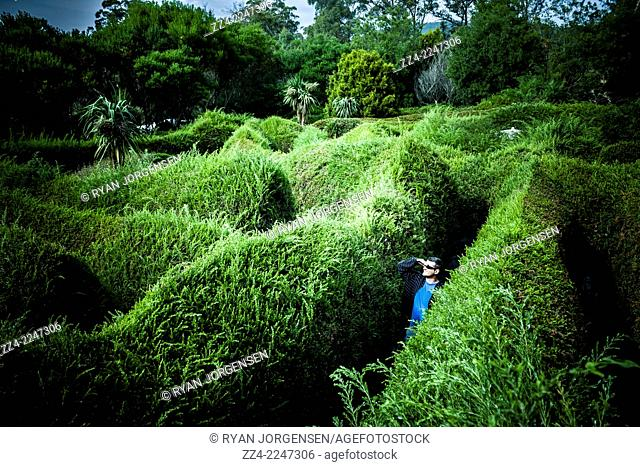 Horizontal Australian garden landscape of a man lost inside a maze or labyrinth, searching for way out. Captured at the Glengarry Bush Maze, northern Tasmania