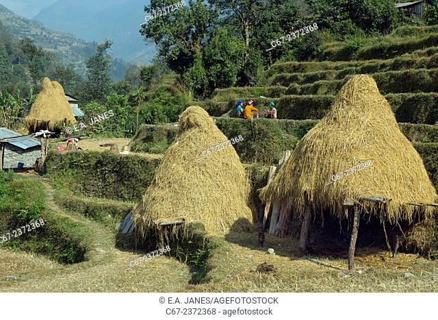 farming near mountain village of Ghandruk in the Modi Khola Valley at around 2000 metres with Annapurna South