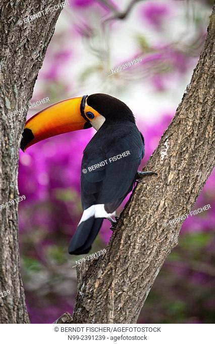 Toso toucan (Ramphastos toco), perching on trunk of tree, Bougainvillia in the background, Mato Grosso do Sul, Brazil