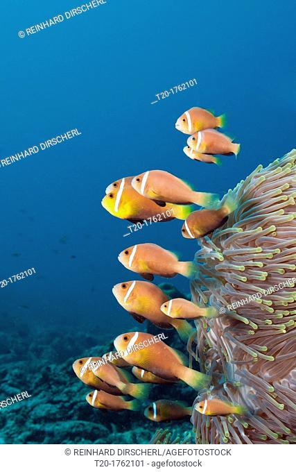 Family of endemic Maldives Anemonefish, Amphiprion nigripes, North Male Atoll, Indian Ocean, Maldives