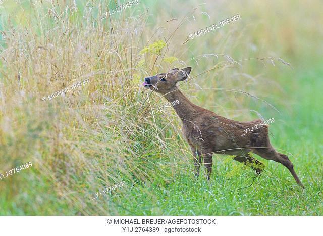 Western Roe Deer (Capreolus capreolus), Fawn, Summer, Hesse, Germany, Europe