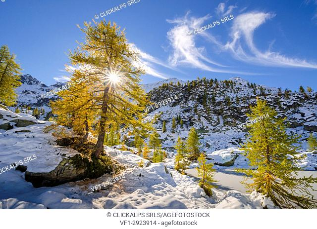 Larches and the first autumnal's snow (Orco valley, Gran Paradiso National Park, Piedmont, Italy, Italian alps)