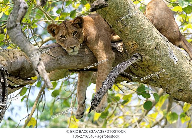Tree climbing lion resting in fig tree, Ishasha sector (Panthera leo) Queen Elizabeth National Park, Uganda, Africa