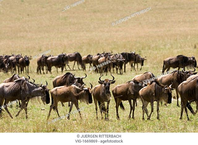 migration of the Blue Wildebeests, Connochaetes taurinus albojubatus, Masai Mara NATIONAL RESERVE, KENYA, Africa - MASAI MARA NATIONAL RESERVE, KENYA