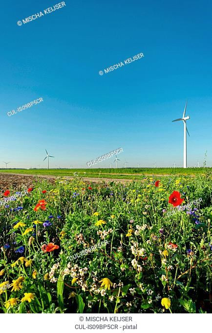 Wild flowers planted along fields, wind turbines in background, Swifterbant, Flevoland, Netherlands