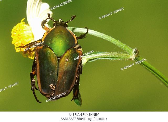 Green June Beetle / June Bug (Cotinus nitida) on Spanish Needles Flower, Florida