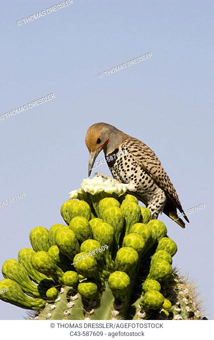 Gilded Flicker (Colaptes chrysoides) - Foraging for nectar at the flower of a Giant Saguaro (Carnegiea gigantea). Photographed late April at the beginning of...