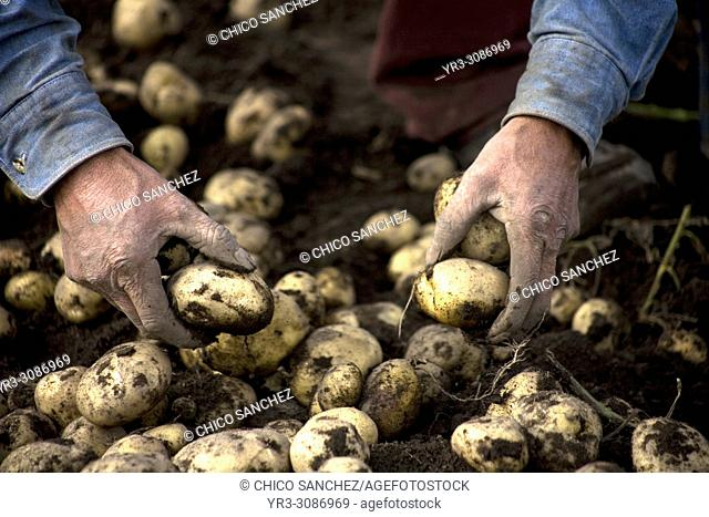 A man harvests potatoes on a farm in Meson Viejo, Mexico State, Mexico, September 25, 2009