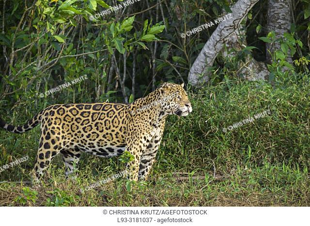 Adult Jaguar (Panthera onca) in forest, Pantanal, Mato Grosso, Brazil