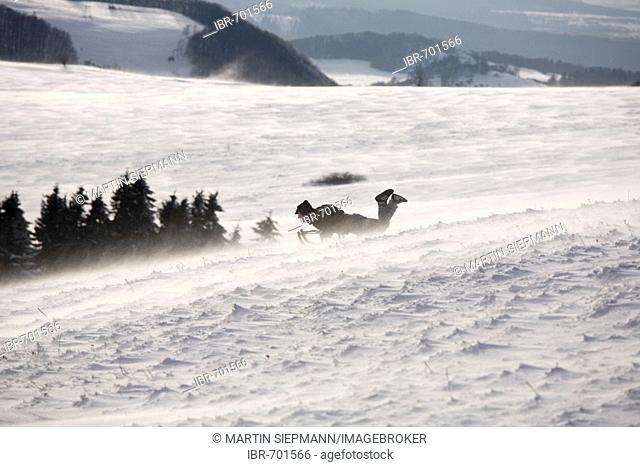 Sledder, blowing snow, Mt. Wasserkruppe, Rhoen Mountains, Hesse, Germany, Europe