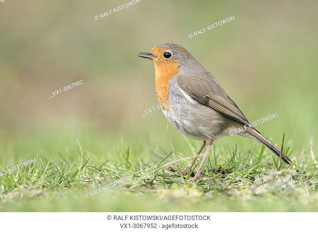 Robin Redbreast ( Erithacus rubecula ) sitting on the ground, singing its song, side view, typical garden bird in Europe, wildlife, Europe