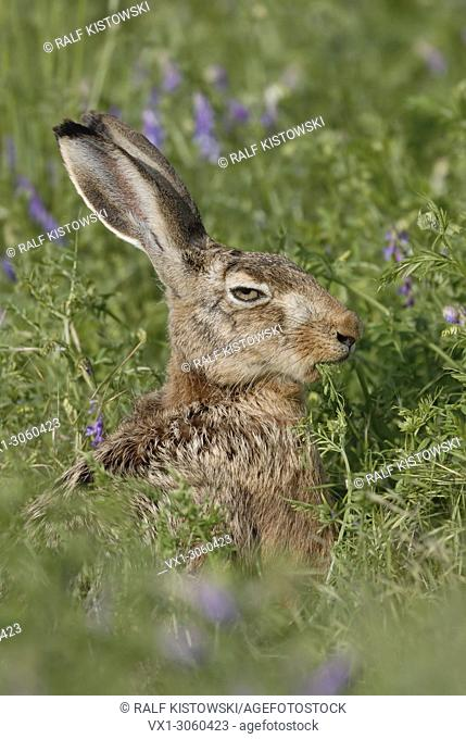 Brown Hare / European Hare ( Lepus europaeus ) sitting in high vegetation, eats from crop weeds, looks quite funny, wildlife, Europe