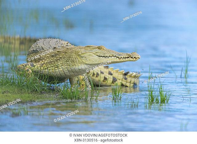 Nile crocodile (Crocodylus niloticus), Rufiji river, Tanzania, East Africa