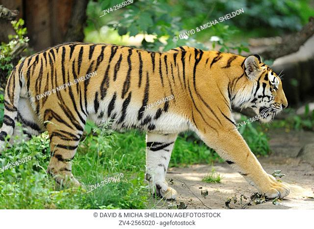 Close-up of a Siberian tiger or Amur tiger (Panthera tigris altaica) in spring