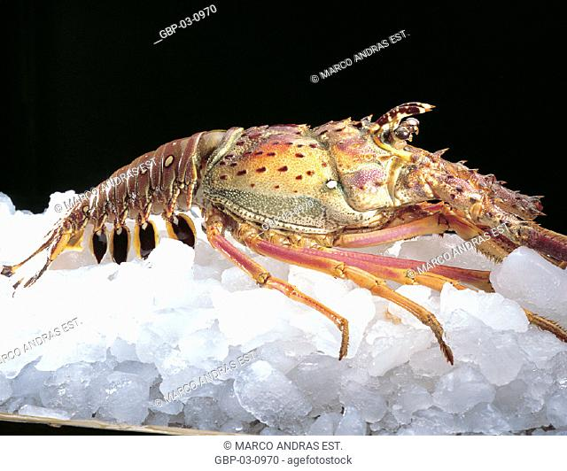 Photo illustrated a marine animal, food animal, lobster, preparation, sample ice, conservation