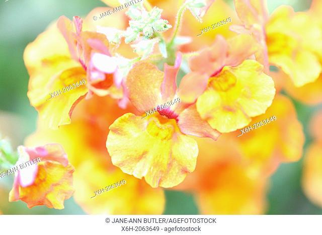 a flower of great charm, nemesia angelart orange, native to Africa