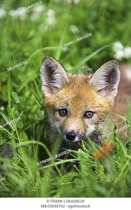 Rotfuchs, Vulpes vulpes, young,  Attention, meadow, portrait,   Series, animal portrait, nature, wildlife, Wildlife, wild animal, animal, mammal, carnivore, fox