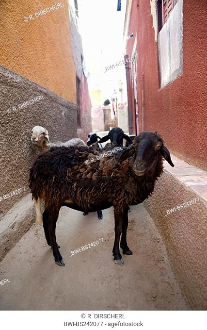 domestic sheep (Ovis ammon f. aries), Street Scene at Nubian Village on Elephantine Island, Egypt, Assuan