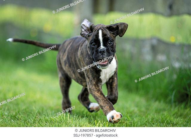 Boxer. Puppy running on a lawn. Germany