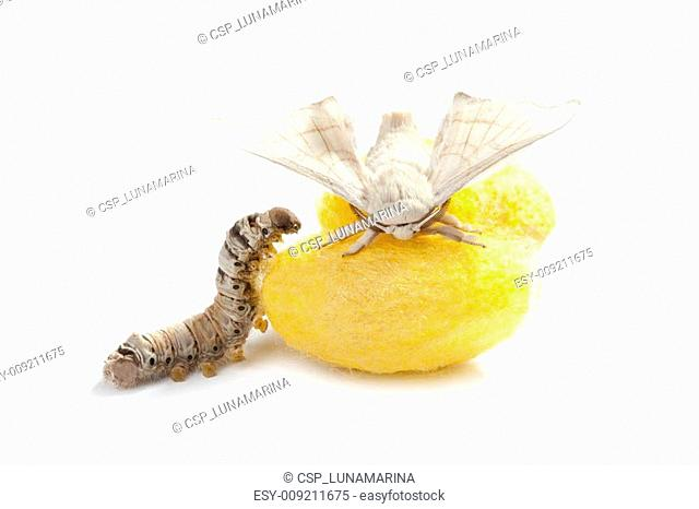 butterfly silkworm cocoon silk worm three stages