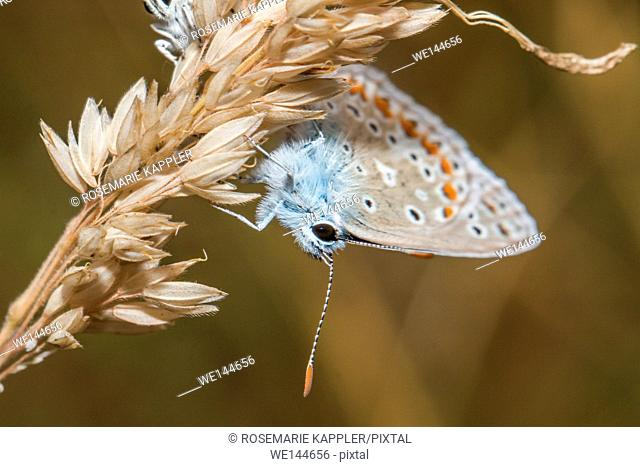 Germany, Saarland, Bexbach - A common blue is sitting on a grass-stock