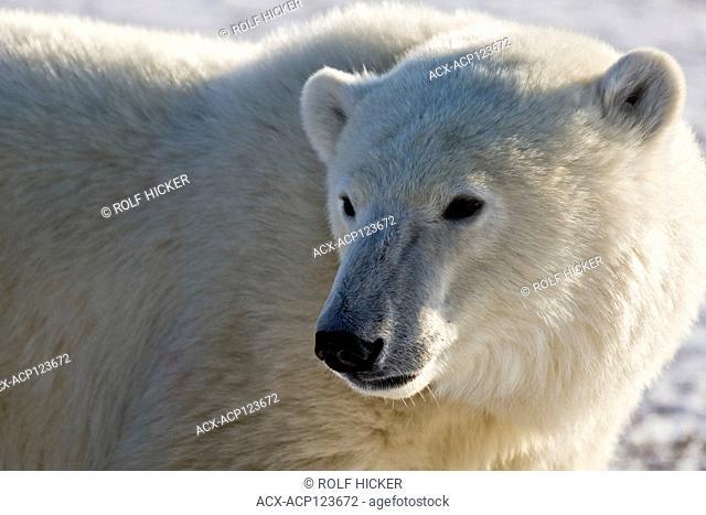Polar Bear, Ursus maritimus, near Camp Nanuq, Hudson Bay, Churchill, Manitoba, Canada