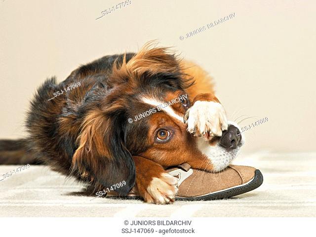 bad habit: half breed dog with shoe / restrictions: Tierratgeber-Bücher / animal guidebooks