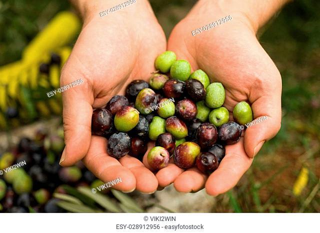 Fresh olives in hands