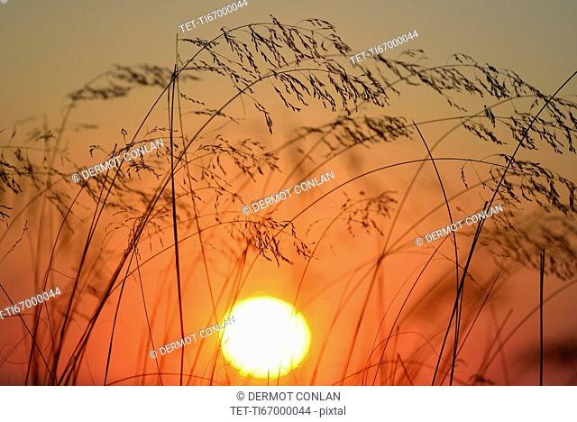 Stems of grass silhouetted against setting sun