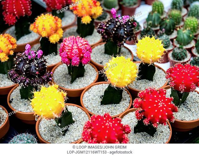 Colorful cacti selection at a garden center
